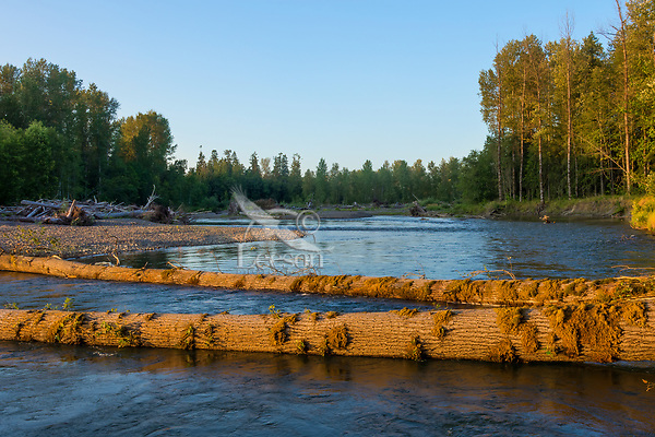 Nisqually River, WA.  July.  Two fallen cottonwood trees.