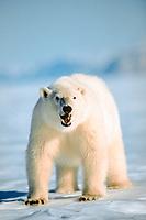polar bear, Ursus maritimus, Spitzbergen, Norway, polar bear, Ursus maritimus