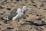 W. gull with Bud on neck, HMB