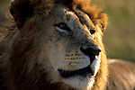 Portrait of Lion (Panthera leo) Serengeti National Park - Tanzania