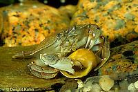 1Y34-006z  Rock Crab -  investigating shell  - Cancer irroratus