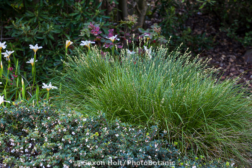 Carex tumulicola - Foothill sedge in California native plant garden with groundcover manzanita; Katherine Greenberg