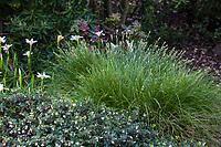 Carex tumulicola - Foothill sedge in California native plant garden with groundcover manzanita; Katherine Greenberg