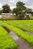 Tanzania.  Mto wa Mbu.  Rice Seedlings Growing in Nursery before Transplanting.