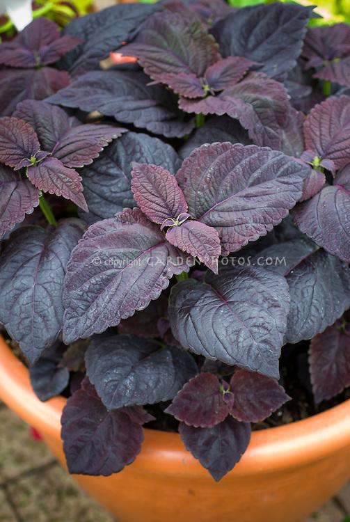 (Solenostemon) Coleus 'Dark Chocolate' purple foliage leaves, annual plant in containef