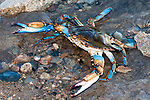 Blue crab in defensive posture raising claws in defense of a perceived intruder, vertical.
