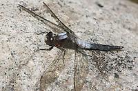 Chalk-fronted Corporal (Ladona julia) Dragonfly - Male, Pharaoh Lake Wilderness Area, Ticonderoga, Essex County, New York