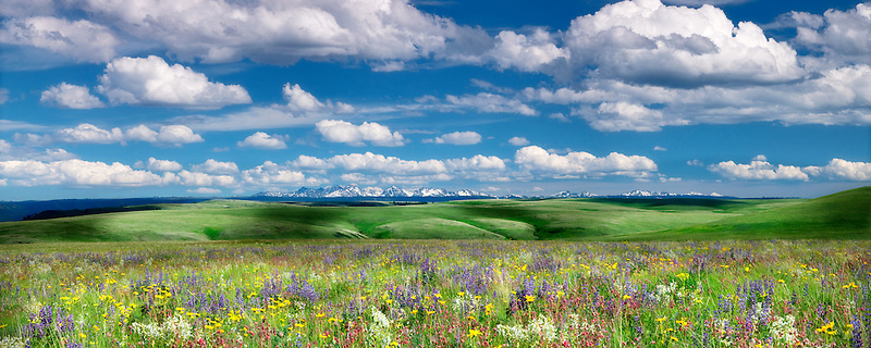 Wildflowers on Zumwalt Prairie with Seven Devils Mountains, ID