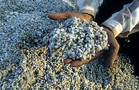 "S?dasien Asien Indien IND , Baumwolle Samen nach der Entkernung . -  Landwirtschaft xagndaz | .South Asia India , cotton seeds after ginning - agricllture .| [ copyright (c) Joerg Boethling / agenda , Veroeffentlichung nur gegen Honorar und Belegexemplar an / publication only with royalties and copy to:  agenda PG   Rothestr. 66   Germany D-22765 Hamburg   ph. ++49 40 391 907 14   e-mail: boethling@agenda-fototext.de   www.agenda-fototext.de   Bank: Hamburger Sparkasse  BLZ 200 505 50  Kto. 1281 120 178   IBAN: DE96 2005 0550 1281 1201 78   BIC: ""HASPDEHH"" ,  WEITERE MOTIVE ZU DIESEM THEMA SIND VORHANDEN!! MORE PICTURES ON THIS SUBJECT AVAILABLE!! INDIA PHOTO ARCHIVE: http://www.visualindia.net ] [#0,26,121#]"