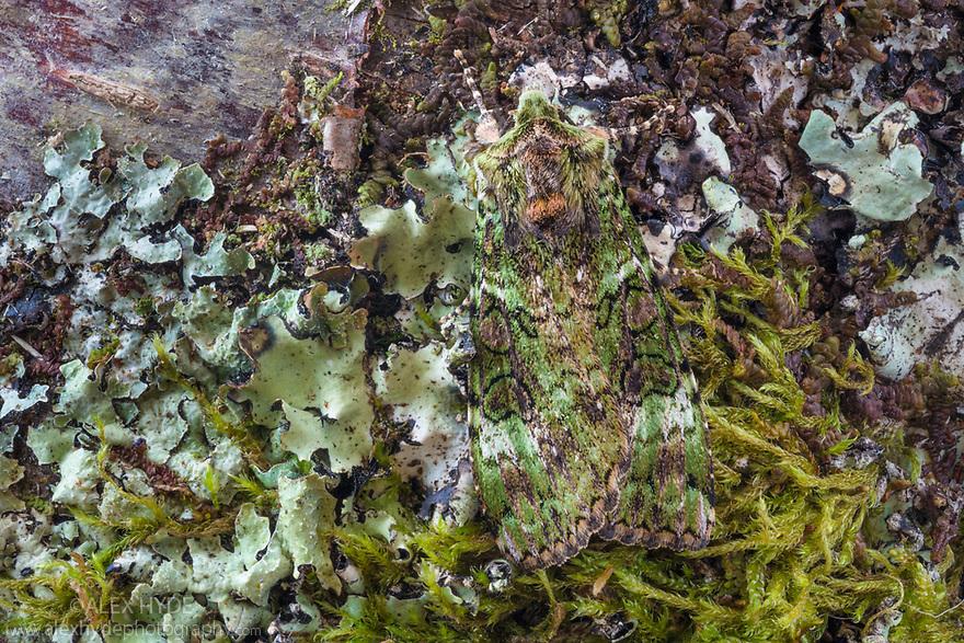 Green Arches (Anaplectoides prasina) Isle of Mull, Scotland, UK. June. Focus stacked image.