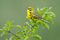 Adult male Prairie Warbler (Dendroica discolor) singing. Tompkins County, New York. May.