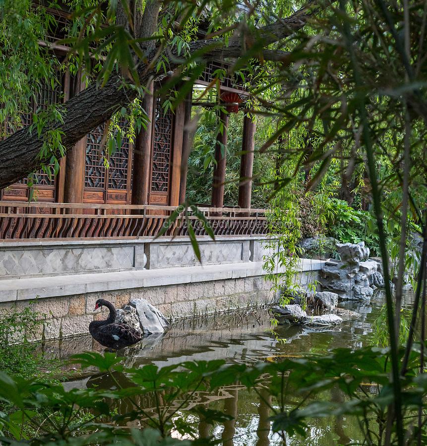 Yangzhou, Jiangsu, China.  A Black Swan in a Traditional Chinese Garden of the Ma Family.