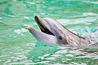 Atlantic bottlenose dolphin, Tursiops truncatus, showing teeth, Dolphin Quest, Hilton Waikoloa Village, Big Island, Hawaii, USA (c)