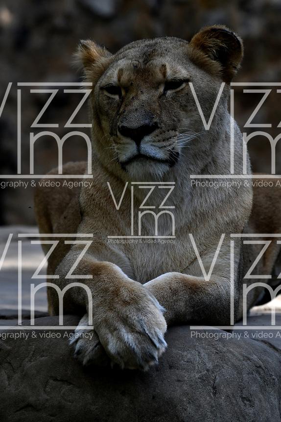 CALI - COLOMBIA - 27 - 09 – 2017: Leona Africano (Panthera Leo), especie de felino en el Zoologico de Cali, en el Departamento del Valle del Cauca.  / African Lioness (Panthera Leo), a feline species at the Cali Zoo, in the Department of Valle del Cauca./ Photo: VizzorImage / Luis Ramirez / Staff.