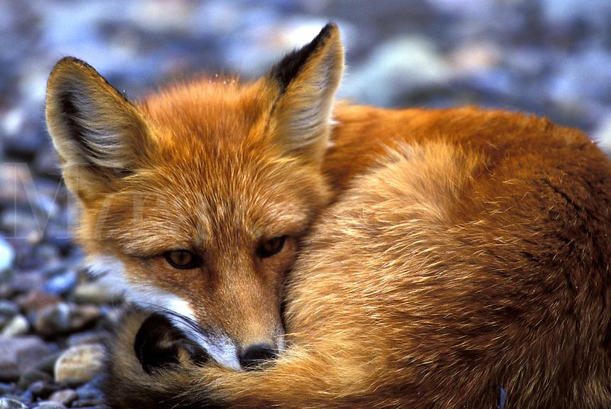 Red Fox (Vulpes vulpes).  Denali National Park, Alaska...