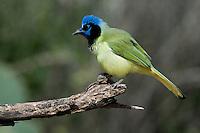 Green Jay (Cyanocorax yncas), Lower Rio Grande Valley, Texas, USA