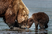 Brown Bear sow and cub look for clams in the mud of Cook Inlet at low tide on the coast in Lake Clark National Park.  Silver Salmon Creek area. Western Alaska  Summer<br /> <br /> Photo by Jeff Schultz/  (C) 2020  ALL RIGHTS RESERVED