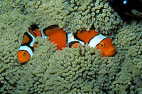 Clown anemonefish, Amphiprion percula, Fiji, Pacific Ocean