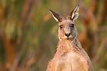 Eastern Grey Kangaroo (Macropus giganteus) male, Mount Taylor Nature Reserve, Canberra, Australian Capital Territory, Australia