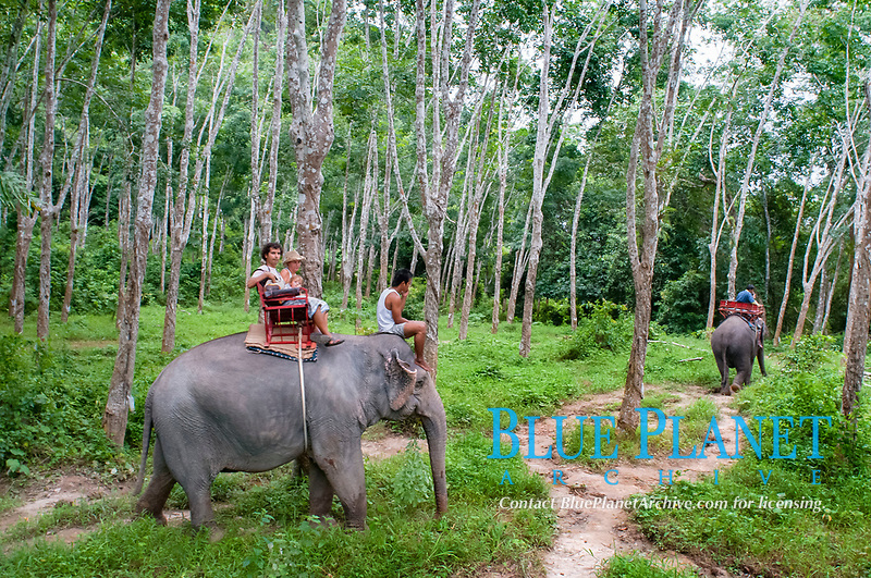Indian elephant, Elephas maximus indicus, - elephant riding in rubber tree forest, Nature Elephant Trekking & River Camp, Krabi, Thailand, Asia