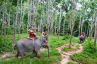 Indian elephant, Elephas maximus indicus, - elephant riding in rubber tree forest, Nature Elephant Trekking & River Camp, Krabi, Thailand, Asia