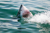 great white shark, Carcharodon carcharias, attacking on bait, False Bay, South Africa, Atlantic Ocean