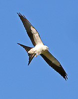 Juvenile swallow-tailed kite. The series of pictures seen here were made On July 9, 2013 in the Newport subdivision of Crosby, TX where a number of swallow-tailed kites nested this year. I found at least a dozen of the birds, including many young of the year, resting and preening in a group at about 8am before dispersing to feed. This bird can be identified as a juvenile by the relatively short outer tail feathers and a little buffy color on the body. These kites have clearly established themselves as Texas residents and what a beautiful addition they are.