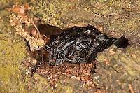 Großer Eichen-Bock, Eichen-Heldbock, Eichenbock, Eichenheldbock, Heldbock, Cerambyx cerdo, Männchen, guckt aus kleiner Höhle in Eichenrinde hervor, great capricorn beetle, oak cerambyx
