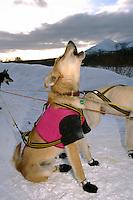 Sam Perrino's Dogs Howl to at Takotna Checkpoint.2004 Iditarod