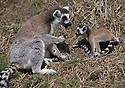"""16/05/16<br /> <br /> """"Now listen carefully, remember to not look down""""<br /> <br /> Three baby ring-tail lemurs began climbing lessons for the first time today. The four-week-old babies, born days apart from one another, were reluctant to leave their mothers' backs to start with but after encouragement from their doting parents they were soon scaling rocks and trees in their enclosure. One of the youngsters even swung from a branch one-handed, at Peak Wildlife Park in the Staffordshire Peak District. The lesson was brief and the adorable babies soon returned to their mums for snacks and cuddles in the sunshine.<br /> All Rights Reserved F Stop Press Ltd +44 (0)1335 418365"""