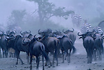 A herd of zebra and blue wildebeest stir up dust.