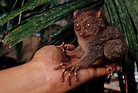 The  endemic Tarsier monkey, the smallest in the world, on the island of Bohol, Philippines, a nocturnal animal is on the endangered species list
