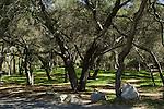 LAWN UNDER COAST LIVE OAK TREES, QUERCUS AGRIFOLIA