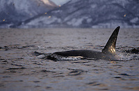 Adult male killer whale surfacing to breathe, Tysfjord, Arctic Norway