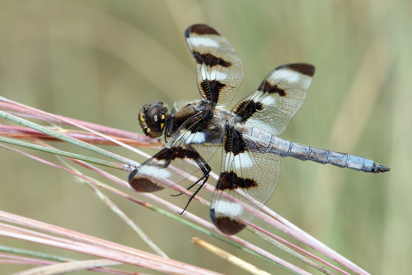Males have twelve brown spots, but also a number of white spots on the wings. The abdomen is brown with a yellow stripe on each side. On older individuals the stripes fade, and the abdomen becomes increasingly pruinose (whitish). The male pictured above is older and has just a little of the brown abdominal color still showing.