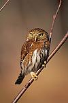 Northern pygmy owl, Olympic National Park, Washington