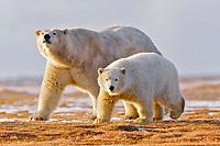 polar bear, Ursus maritimus, mother and cub, Barter Island, Arctic National Wildlife Refuge, Alaska, USA