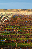 The vineyard in evening sunset. metal wires to support the vines Bodega Del Fin Del Mundo - The End of the World - Neuquen, Patagonia, Argentina, South America