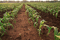 Agricultural landscape of rows of young corn growing n a field.