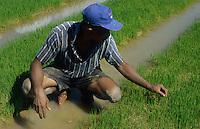 PHILIPPINES Palawan, farmer checks hybrid paddy growth in rice field  / Philippinen Palawan, Farmer prueft Reiswachstum einer Hochertragssorte, Hybridreis