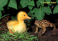 DG20-048z  Pekin Duck - four day old duckling with toad