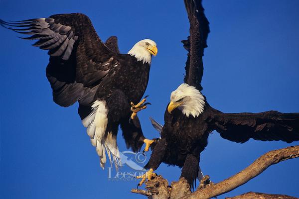 Bald Eagles (Haliaeetus leucocephalus) fighting over perch.