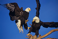 Bald Eagles (Haliaeetus leucocephalus) fighting over perch.