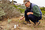 White-crowned Sparrow (Zonotrichia leucophrys) biologist, David Luther, using decoy and playback to study territorial responses to certain dialects of calls, Lobos Dunes, Presidio, San Francisco, Bay Area, California