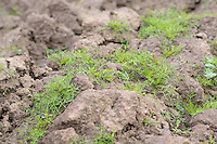 Weeds growing on ploughing in spring - Lincolnshire, April