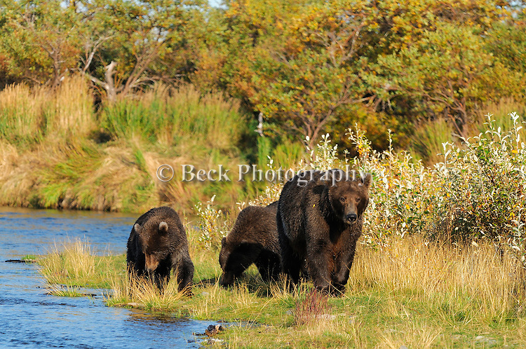 In the fall in Alaska, this mother grizzly bear and her cubs, Ursus arctos horribilis, walk the banks of the river in search of salmon.