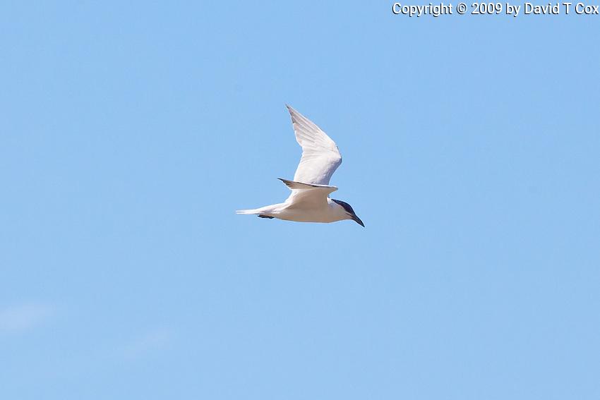 Gull-Billed Tern, Cairns oceanfront, Queensland, Australia