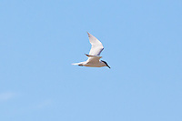 Gull-Billed Tern, Cairns oceanfront, Queensland, Australia
