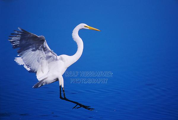 Great Egret, Ardea alba, adult landing, Sanibel Island, Florida, USA