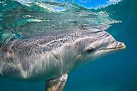 Atlantic Bottlenose Dolphin, Tursiops truncatus, Curacao, Netherlands Antilles, Caribbean.